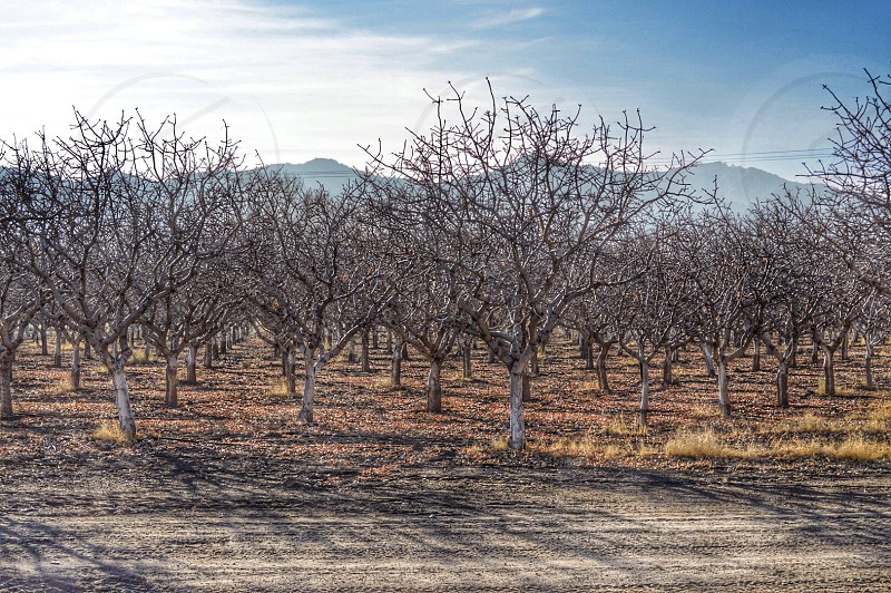 These are dormant pistachio trees. This picture was taken up in Ventucopa CA  photo