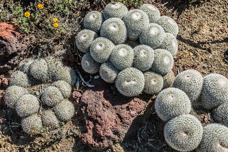 Pincushion cactus plants. photo