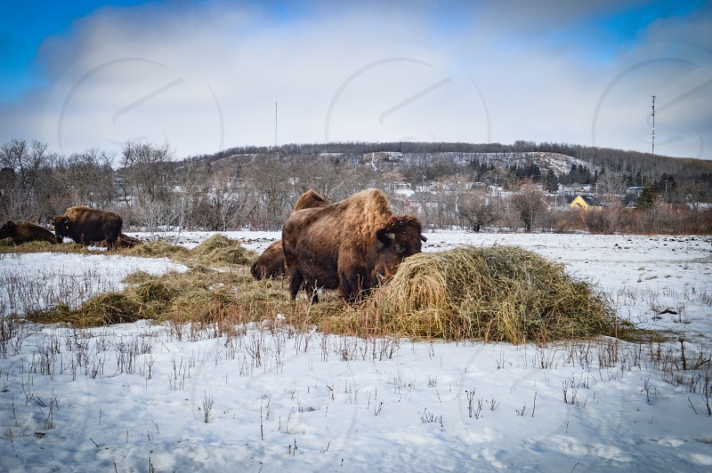 An effort to save the Bison! #bison photo
