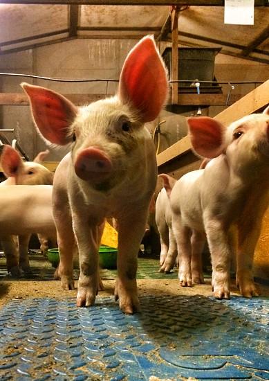 white piglets inside barn photo