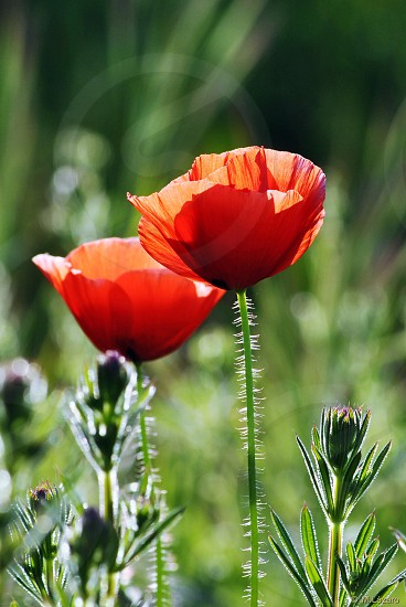 red poppy flowers during daytime photo