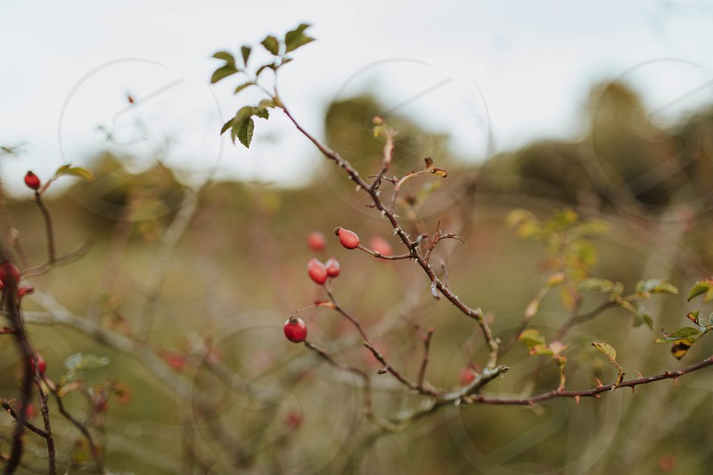 Wild berries out on the nature reserve photo