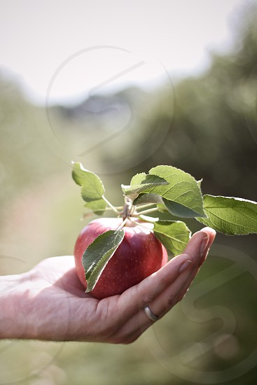 freshly picked apple in a hand photo