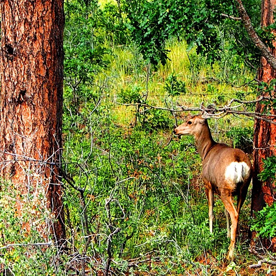 brown deer in the middle of trees photo