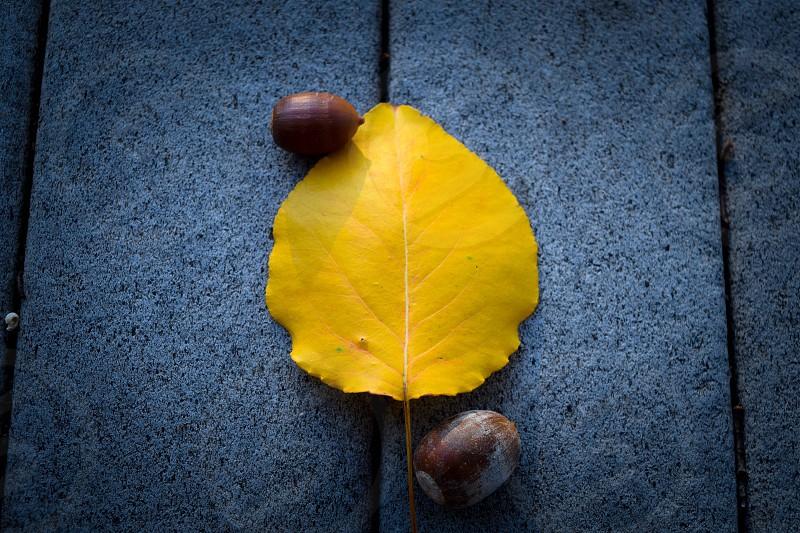yellow leaf two acorns split gray surface photo
