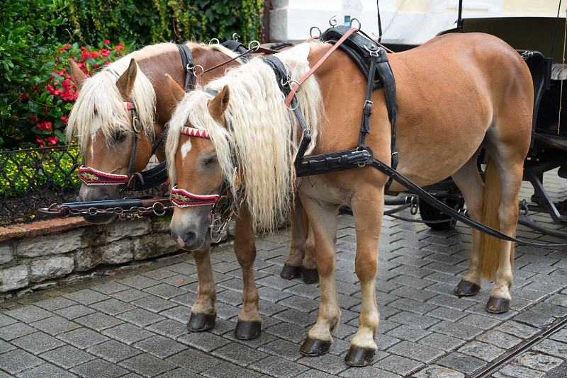 Bedraggled Horses in St Wolfgang photo