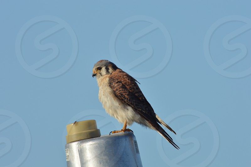 Hawk on a lamp post bemused by insect photo