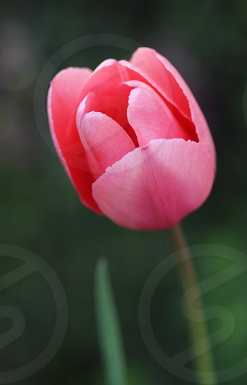 Tulip summer bloom blooming flower  photo