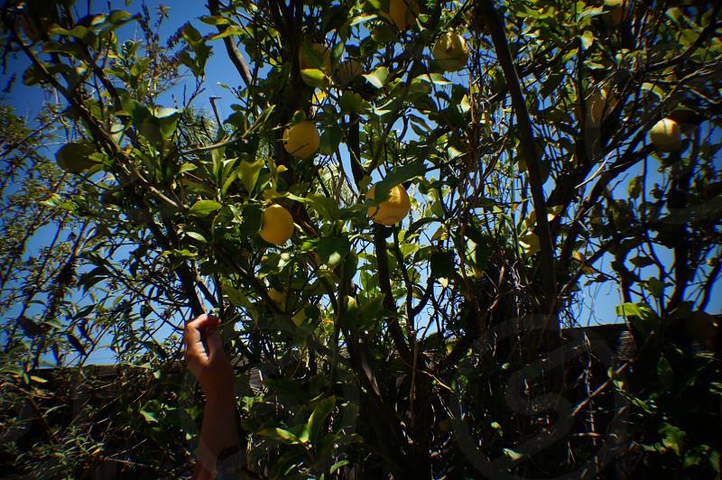 lemon fruit photo