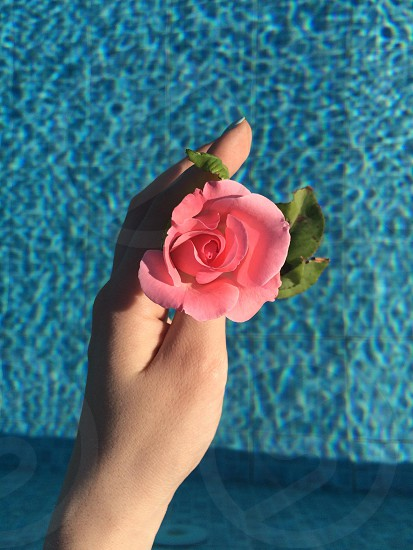 person holding pink rose photo