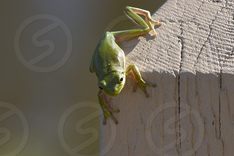 Small green frog in Orange Beach Alabama. photo