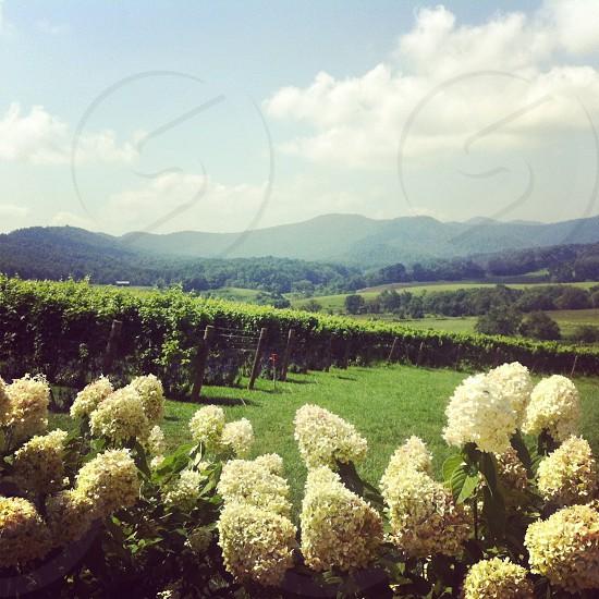 Vineyard flowers Virginia mountains photo