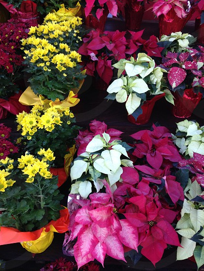 Christmas is getting closer once again all the beautiful flowers are beginning to appear in the markets. photo