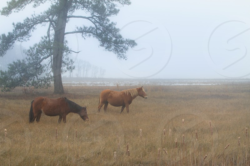 Wild horses of Chincoteague in the morning fog photo