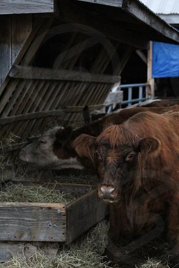 Cow hay farm rustic life  grass moo brown wood photo