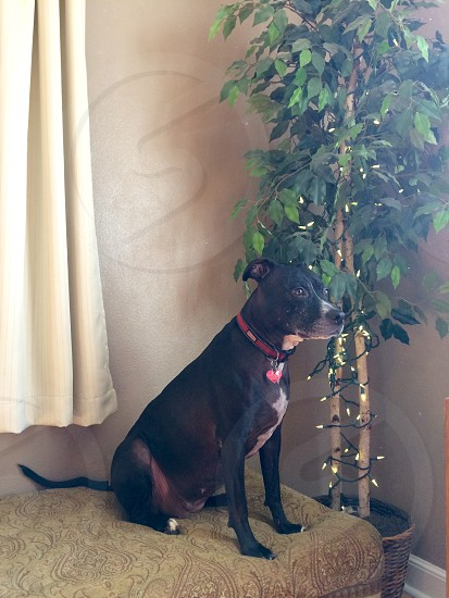 adult black American pit bull terrier on brown fabric ottoman beside green leaf plant inside house photo