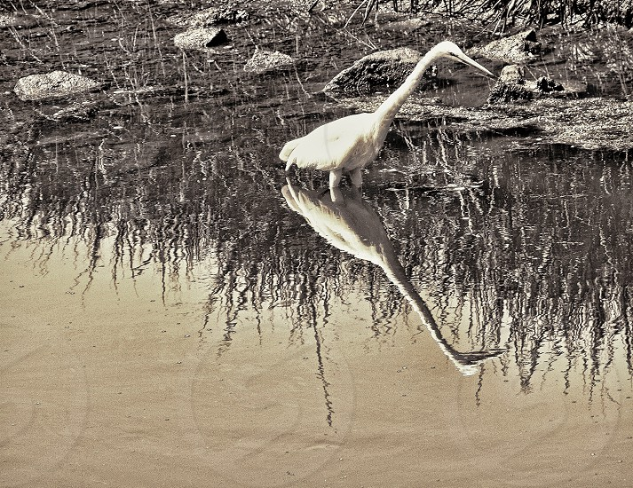 Reflection of an egret in a pond photo