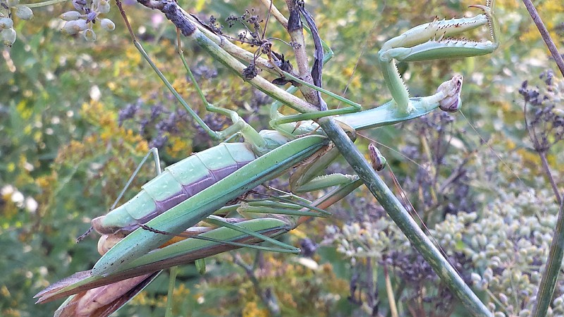 New york praying mantis photo