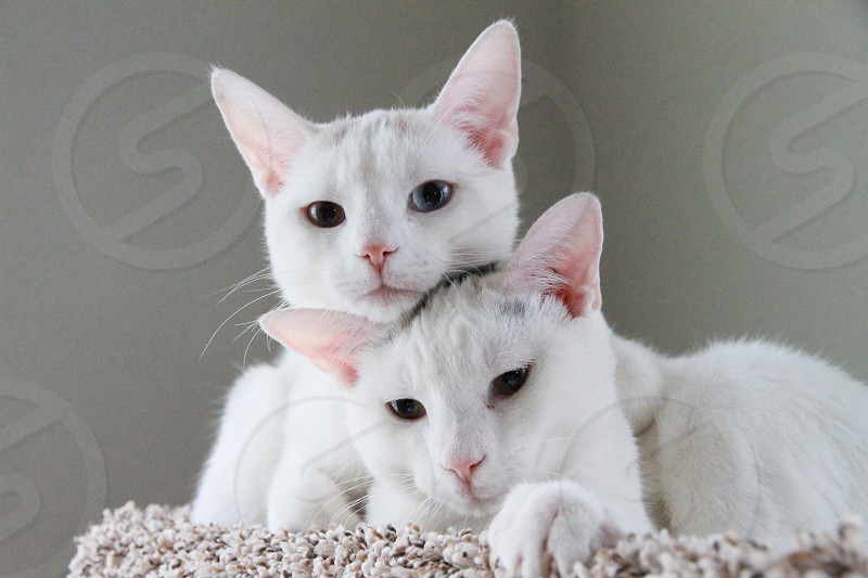 White cats photo