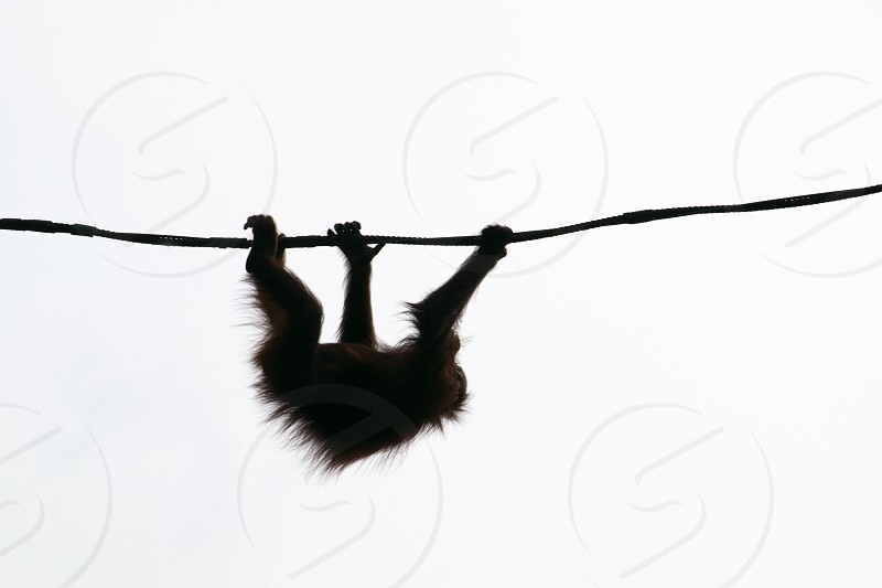 Silhouette orangutan animals South East Asia. photo