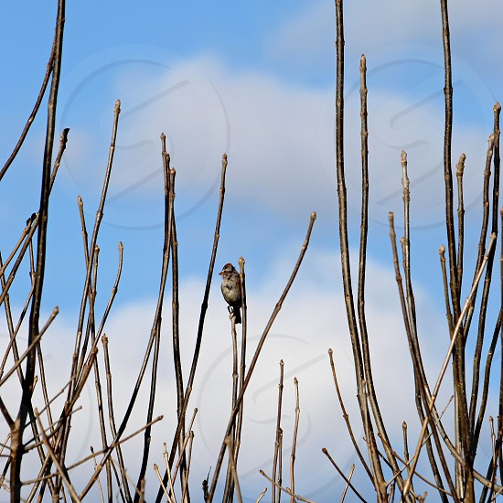 Fox sparrow perched in the branches of a dense shrub blue sky and clouds in background photo