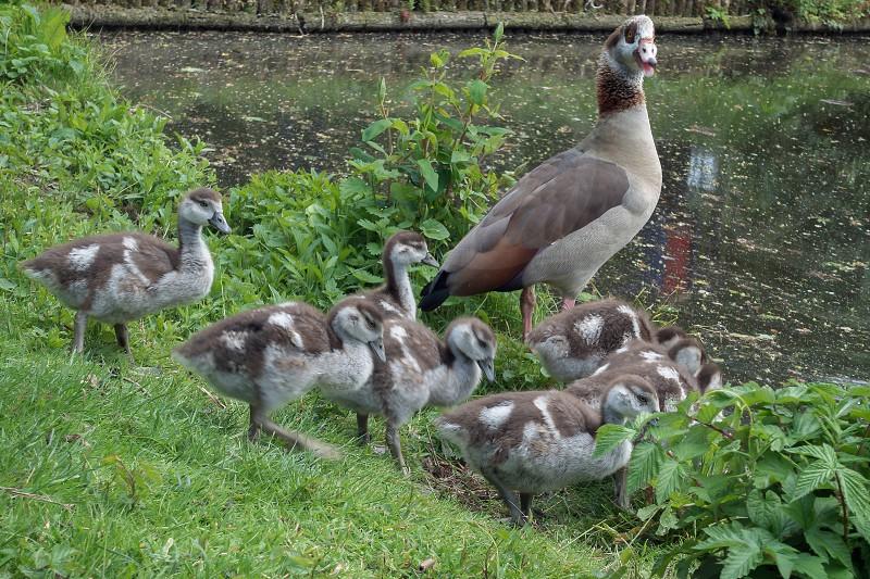 Egyptian Geese (alopochen aegyptiacus) with Goslings photo