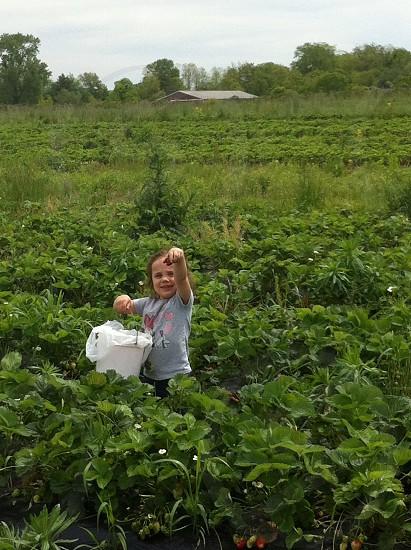 Strawberry picking  photo