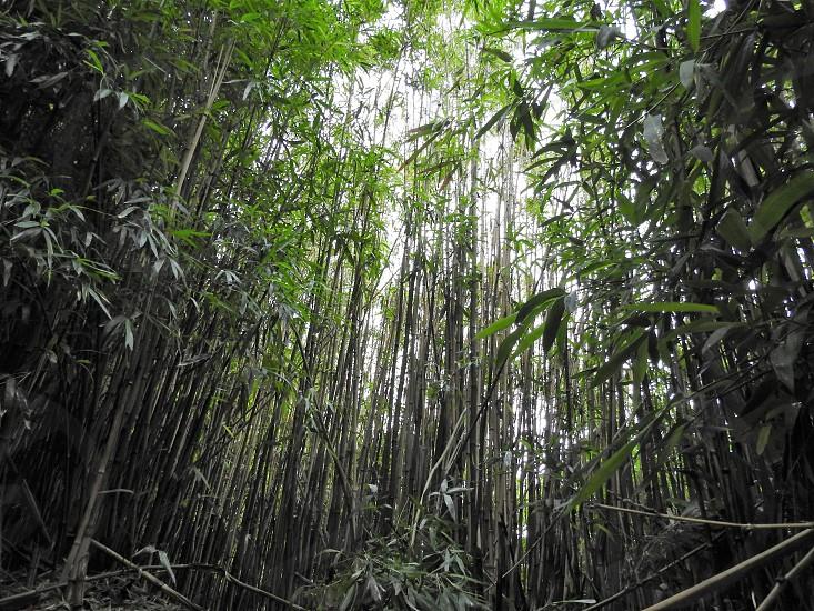 Bamboo Iao Valley Maui        photo