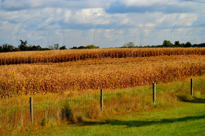 Corn fields on the farm photo