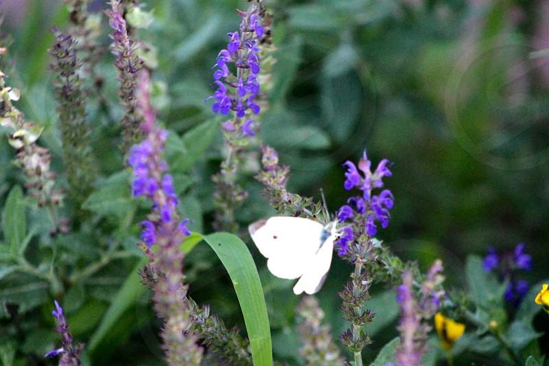 White Butterfly Purple Flower photo