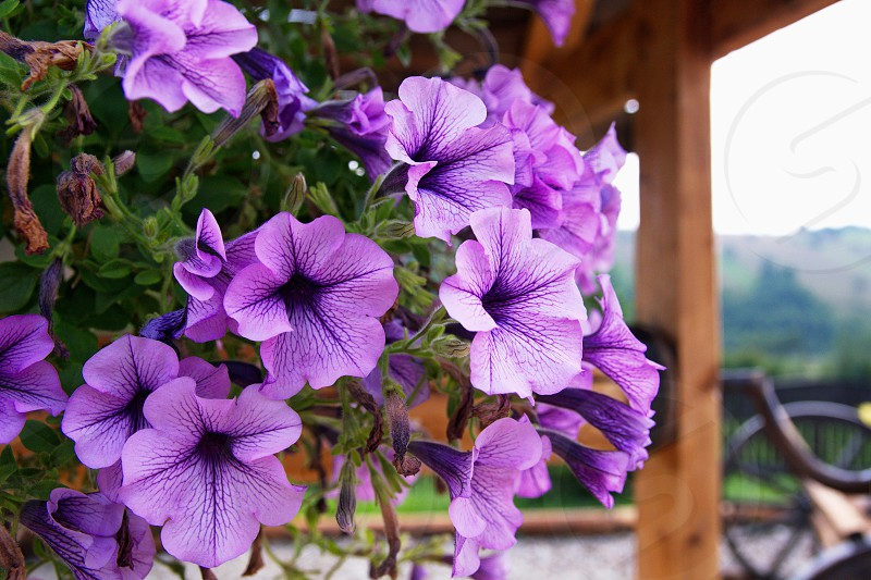 purple petunia flowers beside brown wooden post during daytime photo