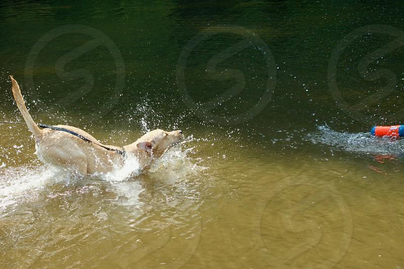 Labrador retriever puppy retrieves a toy in a creek photo