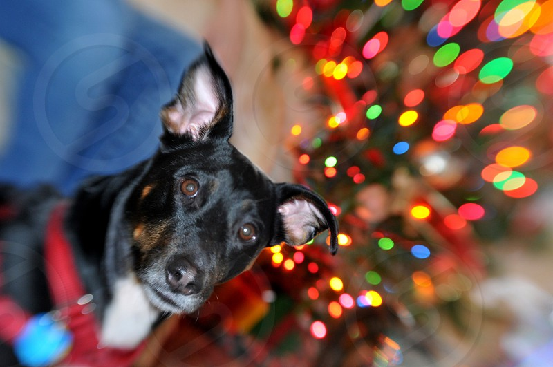 Black dog in front of a Christmas tree photo