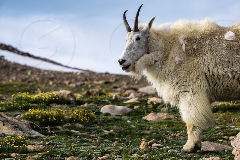 A mountain goat looking around on Mount Evans in Colorado. photo