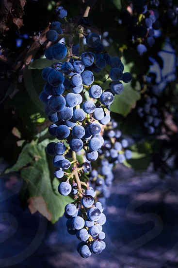 grapes blue vineyard outdoors photo