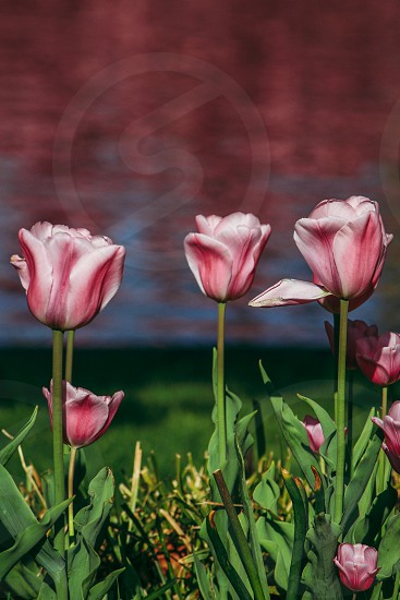FinchumFotos row flowers pink tulips pretty green spring grow water reflection of cherryblossom trees garden three photo