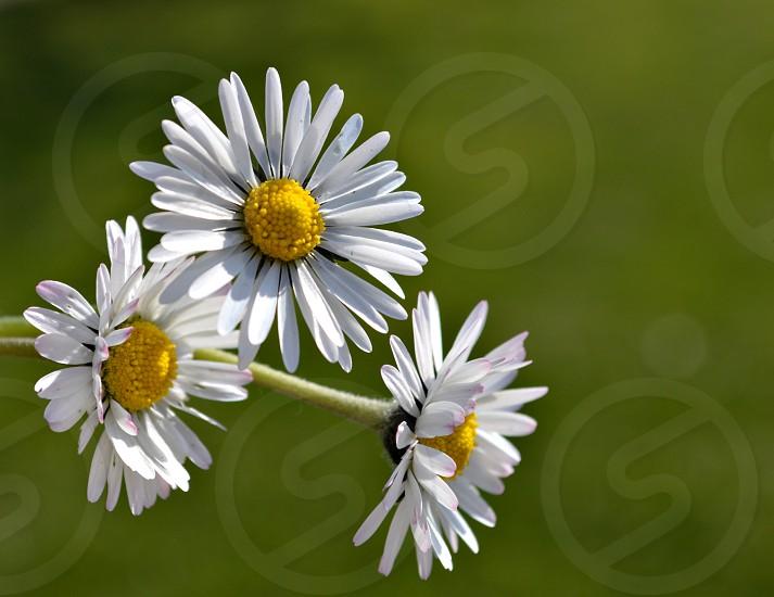 Spring daisy photo