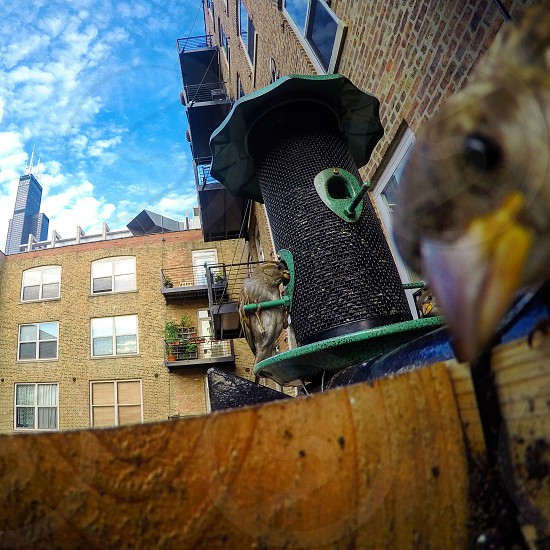 Bird birdfeeder skyline chicago buildings skyscraper architecture animals outside city photo