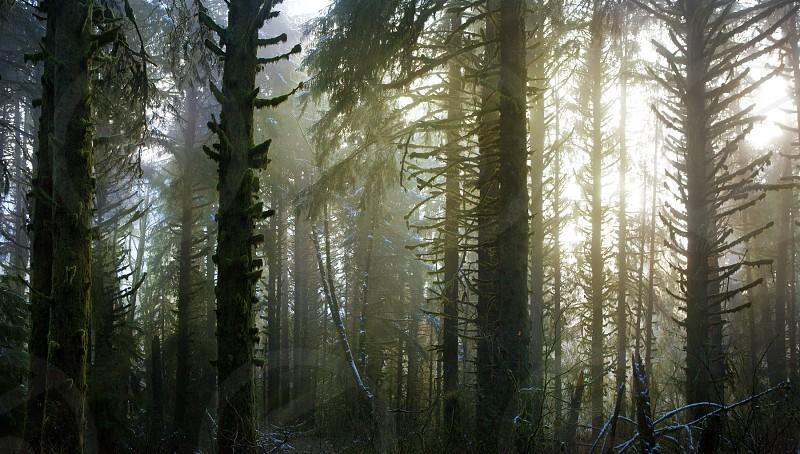 Misty Oregon coastal forest photo