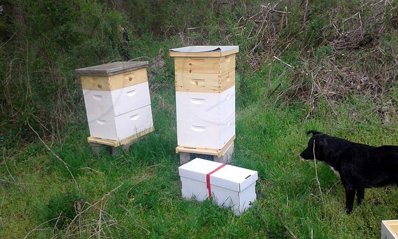 Australian cattle dog herding honeybees and hives photo
