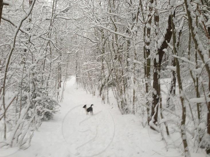 Snow collie dog photo