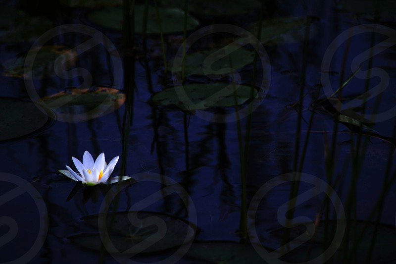 lily pads and white flower on water photo