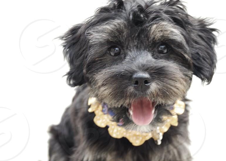 Puppy dog  Shorkie animal selfie tongue photo