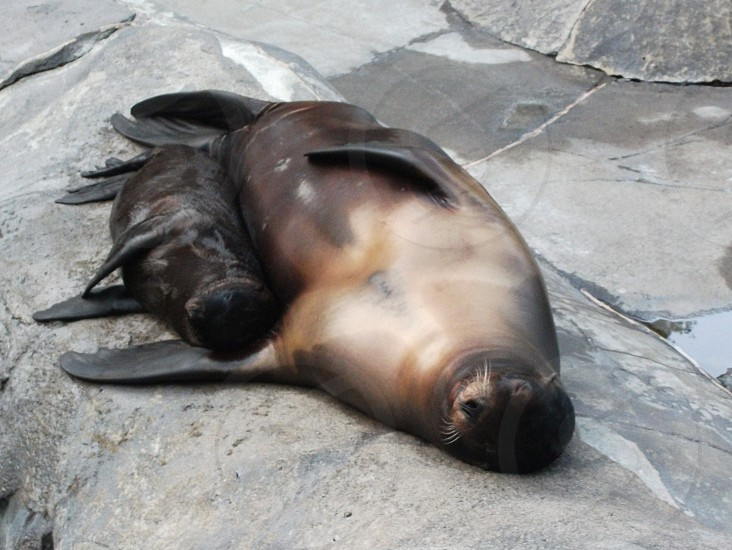 Mother and Baby Sea Lion photo