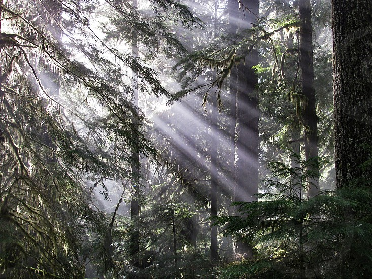 Shining rays of sunlight descend through mist and fog in the pine forest on a trail in Olympic National Park. photo
