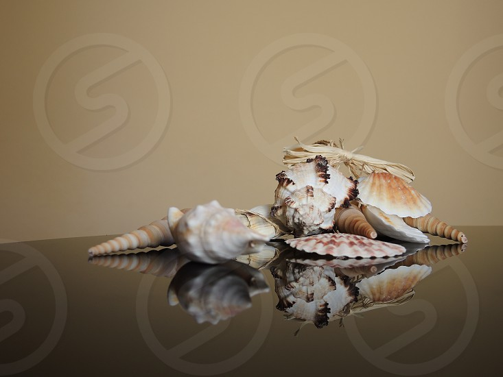 brown and white sea shell on table photo