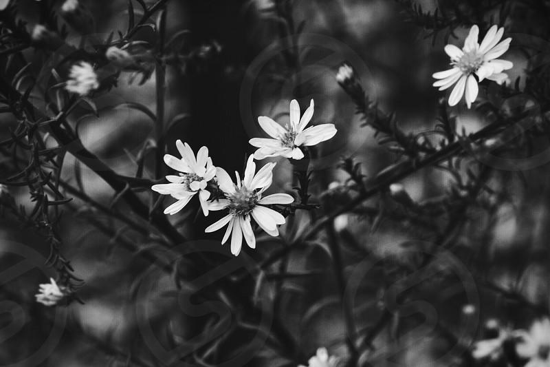 Flowers black and whitenaturefairydarkshadowsfalldaisy photo