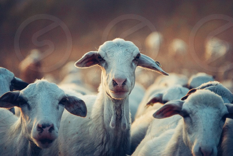 white goats at daytime photo