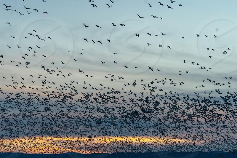 Flock birds flight wildlife reserve Sacramento estuary sunset silhouette nature wild  photo