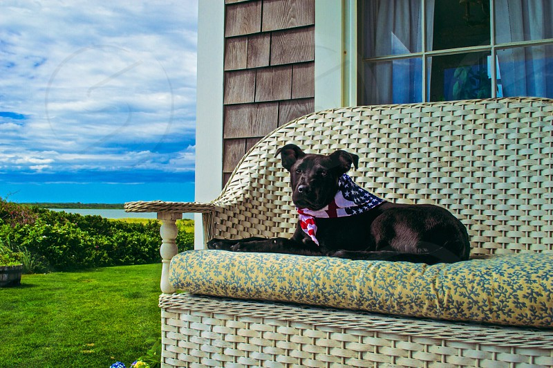 Patriotic pup! Boomer flaunts his love of America. Nantucket Massachusetts photo